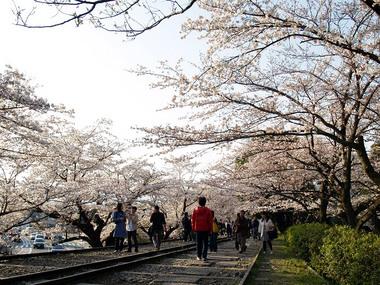 インクラインの桜のトンネル