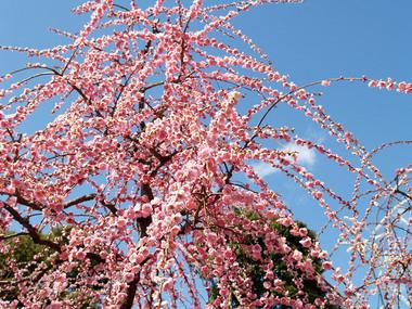 城南宮・ピンクの枝垂梅