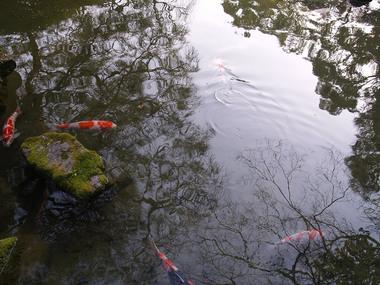 城南宮・池の鯉
